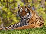Bengal Tiger Sitting  Panthera Tigris  Asia
