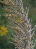 Dewy Indian Grass Flowers  Sorghastrum Avenaceum  USA