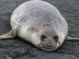 Southern Elephant Seal  Mirounga Leonina  South Georgia Islands  Antarctic Region