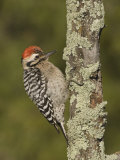 Ladder-Backed Woodpecker Male on a Lichen-Covered Snag (Picoides Scalaris)  Arizona  USA