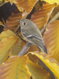 Ruby-Crowned Kinglet (Regulus Calendula)  North America