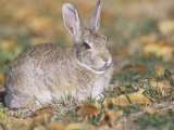 Mountain Cottontail Rabbit (Sylvilagus Nuttallii)  Rocky Mountains  North America