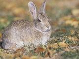 Mountain Cottontail Rabbit (Sylvilagus Nuttallii)  Rocky Mountains  North America