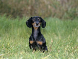Miniature Daschund Sitting in Grass