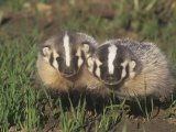 Two American Badger Babies  Taxidea Taxus  Montana  USA