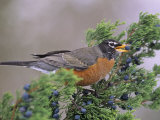 American Robin with a Cedar Berry (Turdus Migratorius)  North America