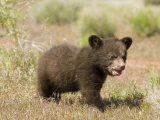 Black Bear Cub  Ursus Americanus  North America