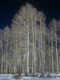 Aspen Clone in the Winter  Populus Tremuloides  Western USA
