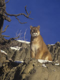Male Mountain Lion  Cougar  or Puma (Felis Concolor)  Western North America