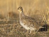 Sharp-Tailed Grouse (Tympanuchus Phasianellus) on the Nebraska Tallgrass Prairie  USA