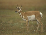 Female Pronghorn  Antilocapra Americana  North American Grasslands