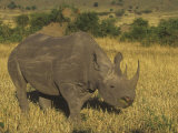 Black Rhinoceros Grazing on the Savanna  Diceros Bicornis  an Endangered Species  Kenya  Africa