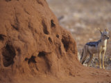 Black-Backed Jackal  Canis Mesomelas  Next to a Termite Mound Samburu  Kenya  Africa