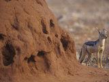 Black-Backed Jackal  Canis Mesomelas  Next to a Termite Mound Samburu  Kenya  Africa