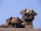 Brussels Griffon Variety of Domestic Dog