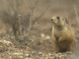 Gunnison's Prairie Dog  Cynomys Gunnisoni  a Threatened Species  Bryce National Park  Utah  USA