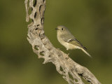 Ruby-Crowned Kinglet (Regulus Calendula) on a Cholla Cactus Skeleton  Arizona  USA