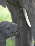 African Elephant Young with its Mother  Loxodonta Africana  Kenya  Africa