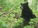 Black Bear in a Deciduous Forest (Ursus Americanus)  Eastern USA