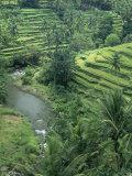 Terraced Rice Paddies (Oryza Sativa)  Java  Indonesia