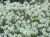 Dandelion Seed Heads and One Remaining Flower  Taraxacum Officinale  North America