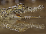 Young Nile Crocodile Showing its Eye and Teeth  Crocodylus Niloticus   East and Central Africa