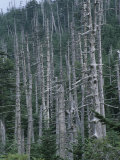 Acid Rain Damaged Fraser Fir and Red Spruce Trees Mt Mitchell State Park  North Carolina  USA