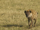 Spotted Hyena on the Savanna  Crocuta Crocuta  East Africa