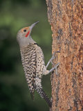 Northern Flicker (Colaptes Auratus)  USA
