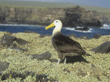 Waved Albatross  Diomedea Irrorata  an Endemic Species to the Galapagos Islands  Ecuador