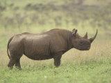 Black Rhinoceros on the Ssvanna  Diceros Bicornis  Kenya  Africa
