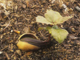 Coast Live Oak Acorn Sprouting  Quercus Agrifolia  California  USA