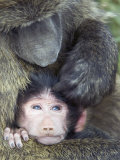 Olive Baboon and its Young Being Groomed  Papio Anubis  Lake Nakuru National Park  Kenya  Africa