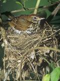 Female Wood Thrush (Hylocichla Mustelina) Brooding Eggs on Her Nest  North America