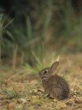 Baby Cottontail Rabbit  Sylvilagus Floridanus  with Tick Parasites  Eastern USA