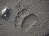 Grizzly Bear (Ursus Arctos) Track in Mud  Alaska  USA