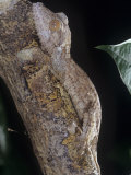 Leaf-Tailed Gecko  Uroplatus Henkeli  Madagascar  Showing Protective or Cryptic Coloration