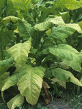 Tobacco Plants at Harvest Time  Nicotiana Tabacum  North Carolina  USA