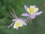 Blue Columbine  Aquilegia Corerulea  Colorado State Flower  Gunnison National Forest  USA