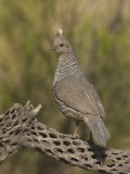 Scaled Quail (Callipepla Squamata) on a Cholla Cactus Skeleton  Sonoran Desert  Arizona  USA