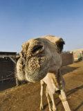 Camel at Camel Market  Cairo  Egypt
