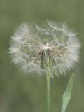 Goatsbeard Seed Head and Flower Bud (Tragopogon Pratensis)  North America