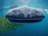 Whale Shark  Rhincodon Thypus  Usa  Haiwaii  Pacific Ocean