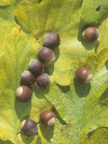 White Oak Tree Acorns and Leaves (Quercus Alba)  North America