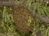 Honey Bee (Apis Mellifera) Swarm in a Mesquite Tree  Sonoran Desert  Arizona  USA