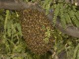Honey Bee (Apis Mellifera) Swarm in a Mesquite Tree  Sonoran Desert  Arizona  USA