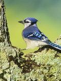 Blue Jay (Cyanocitta Cristata)  North America