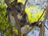 Koala Resting in a Tree (Phascolarctos Cinereus)  Australia