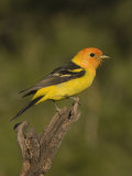 Western Tanager Male (Piranga Ludoviciana) on a Snag  Western North America