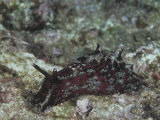California Sea Hare, Aplysia Califorica, California, Usa, Pacific Ocean Papier Photo par Daniel Gotshall
